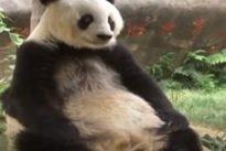 Cina, a 37 anni è morta Basi: il panda più vecchio del mondo