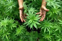 Napoli, famiglia coltiva cannabis in giardino: denunciata