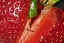 Australia, aghi da cucito nascosti dentro le fragole: caccia ai sabotatori