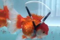 """Pesce rosso disabile può nuotare di nuovo grazie alla """"sedia a rotelle"""" costruita da stilista coreano"""