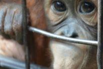 """Bua Noi, la """"gorilla triste"""": da 27 anni in una gabbia da sola nello zoo del centro commerciale"""
